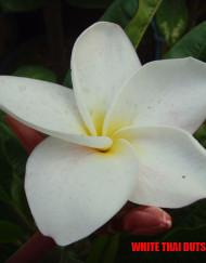 white-thai-dutsadee1
