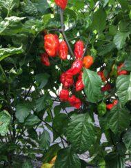 Friske Chilifrugter