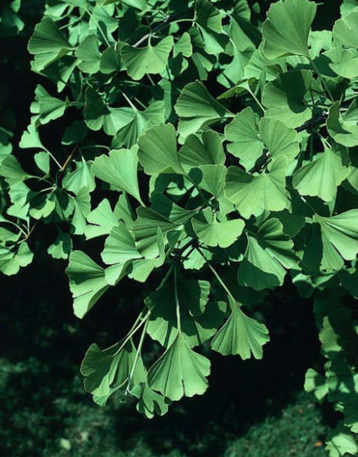Gingko Biloba – Tempeltræ – Bjarne's frø og planter
